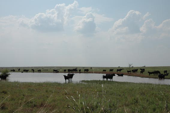 Cows around and standing in pond at McKnight Ranch