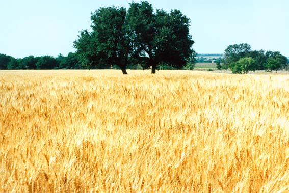 McKnight Ranch Wheatfield with Tree