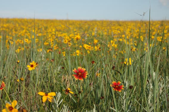 Indian Blanket wildflowers in a field at McKnight Ranch.