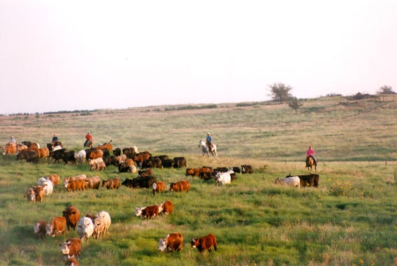 Cattle roundup at McKnight Ranch